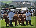 NT2939 : Highland cattle at Peebles Show by Jim Barton