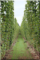 SO6544 : Hop field by Oast House Archive