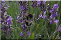TQ2760 : Bumblebee and lavender, Mayfield farm by Christopher Hilton