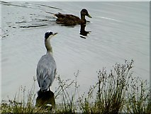 H4572 : Heron and duck, Omagh by Kenneth  Allen