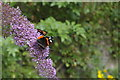 TF4666 : Red Admiral, Gunby Hall gardens by Christopher Hilton