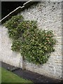 NY9923 : Espalier fruit tree by Stanley Howe
