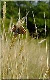 TQ1450 : Butterflies at Ranmore (7): Brown Argus (Aricia agestis) by Stefan Czapski