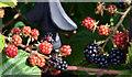 J4158 : Blackberries, Saintfield (1) by Albert Bridge