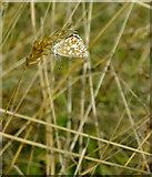 TQ1450 : Butterflies at Ranmore (8): Brown Argus (Aricia agestis) by Stefan Czapski