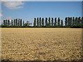 SE8170 : Poplar line beyond a harvested field by Pauline E