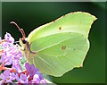 SU6774 : Brimstone butterfly with coiled proboscis in Tilehurst, Berkshire by Edmund Shaw