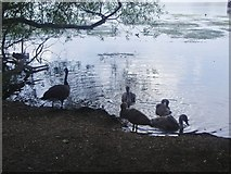 TQ2187 : A family of geese on the Welsh Harp reservoir by David Howard