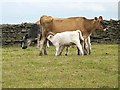 NY9219 : Cow and two suckling calves near Primrose Hill Farm by Oliver Dixon
