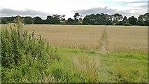 SK2139 : Footpath through the cornfield by Chris Morgan