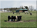 NT9437 : Belted Galloway cattle at Ford (2) by Stephen Craven