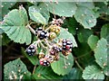 SJ9493 : Blackberries and a spider's web at Knott Fold by Gerald England