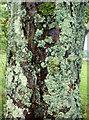 NM7816 : Lichen-decorated Chestnut tree at Ardmaddy by sylvia duckworth