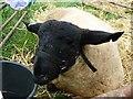 SJ1901 : Berriew Show - Sleepy Suffolk ram by Penny Mayes