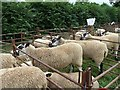 SJ1901 : Berriew Show - Speckled face sheep by Penny Mayes