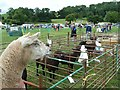 SJ1901 : Berriew Show - Sheep and ponies by Penny Mayes