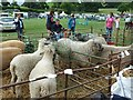 SJ1901 : Berriew Show - Bluefaced Leicester by Penny Mayes