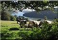 SX8754 : Cattle above the Dart by Derek Harper