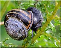 J3773 : Snail, Belfast (3) by Albert Bridge
