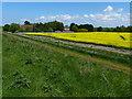 TF5915 : Oil seed rape crop near Bank Farm by Mat Fascione