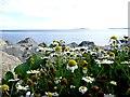 S9603 : Wild daisies, Kilmore Quay by Kenneth  Allen