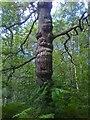 SK2479 : Totem Pole - Oak tree by Andrew H