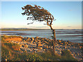 SD4673 : Windswept tree at Jenny Brown's Point, Silverdale by Karl and Ali