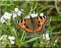 NU2327 : Small Tortoiseshell Butterfly (Aglais urticae) by Russel Wills