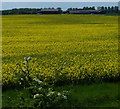 TF5815 : Oil seed rape crop near Eau Brink River Farm by Mat Fascione