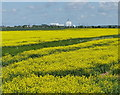 TF5816 : Oil seed rape crop north of Eau Brink by Mat Fascione