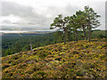 NH6069 : Scots Pine on the flank of Cnoc Fyrish by Julian Paren