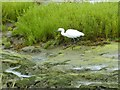 SZ7799 : Little Egret  (Egretta garzetta) at Ella Nore by Rob Farrow