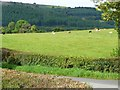 SO3206 : Cattle grazing north-west of Goytre Farm by Christine Johnstone