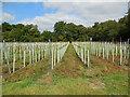 TQ2523 : Bolney Vineyard by Paul Gillett
