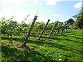 TQ2522 : Bolney Vineyard by Paul Gillett