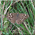 TQ7296 : Speckled Wood butterfly (Pararge aegeria), Crowsheath Community Woodland, Downham by Roger Jones