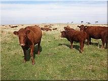 SS7237 : Ruby red Devon cattle, North Twitchen by Roger Cornfoot