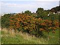 TQ3977 : A bumper crop of rowan berries by Stephen Craven
