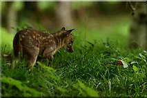 TQ3643 : Muntjac Deer Fawn by Peter Trimming