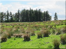 NY9398 : Moorland and small plantation northwest of High Shaw by Mike Quinn