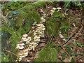 SP9308 : Sulphur Tuft (Hypholoma fasciculare) on log by Rob Farrow