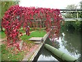 SU5766 : Virginia creeper making its way across the canal by Christine Johnstone