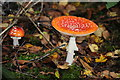 SO5911 : Fly agarics by Philip Halling