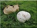 SU7990 : Giant puffball (Calvatia gigantea) - found growing in sheep pasture by Stefan Czapski