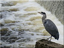 H4572 : Heron, Omagh by Kenneth  Allen