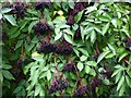 NZ0663 : Elderberries in hedgerow south of Ovington by Andrew Curtis