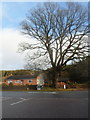 SO6515 : Dominant tree at a road junction in Cinderford by Jaggery