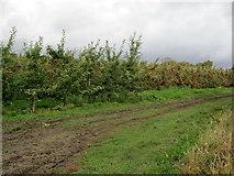 TR2758 : Orchard near Guilton Farm by Chris Heaton