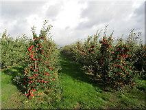TR2757 : Orchard near Durlock by Chris Heaton
