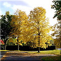 SO9446 : Golden birches at Pershore by Jonathan Billinger